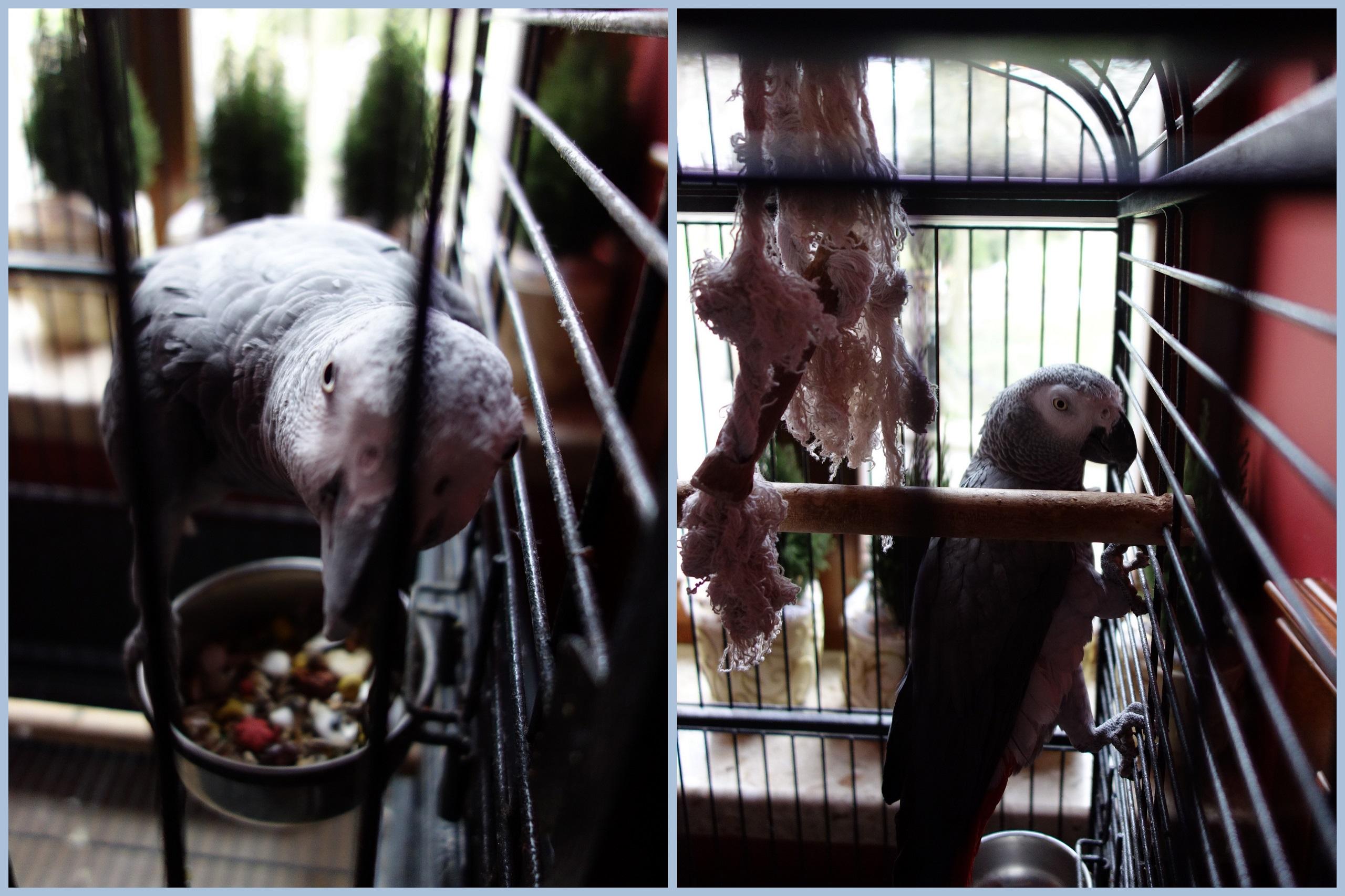 Zamkowa gadająca papuga - Zamek Dubiecko