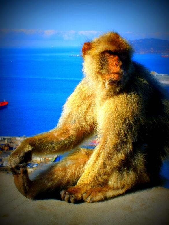 Makak - Pan Gibraltaru