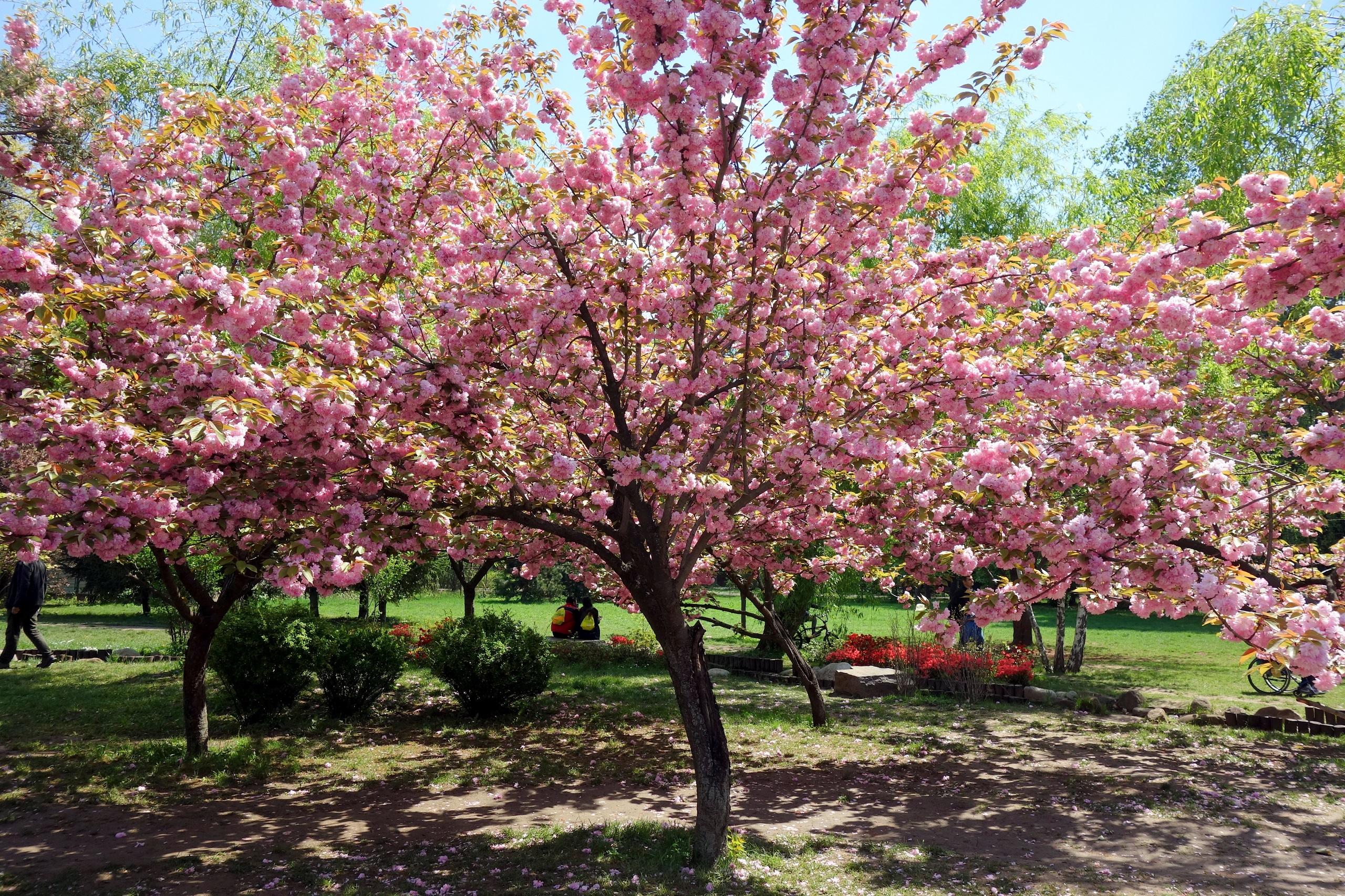 Kwitnące wiśnie w Parku Herăstrău - Rumunia, Bukareszt