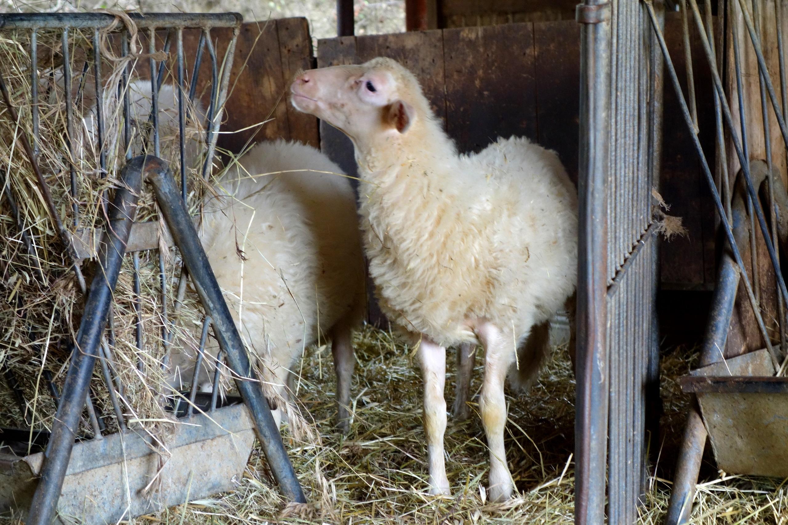 Podere Il Casale - wdzięcznie pozująca owca