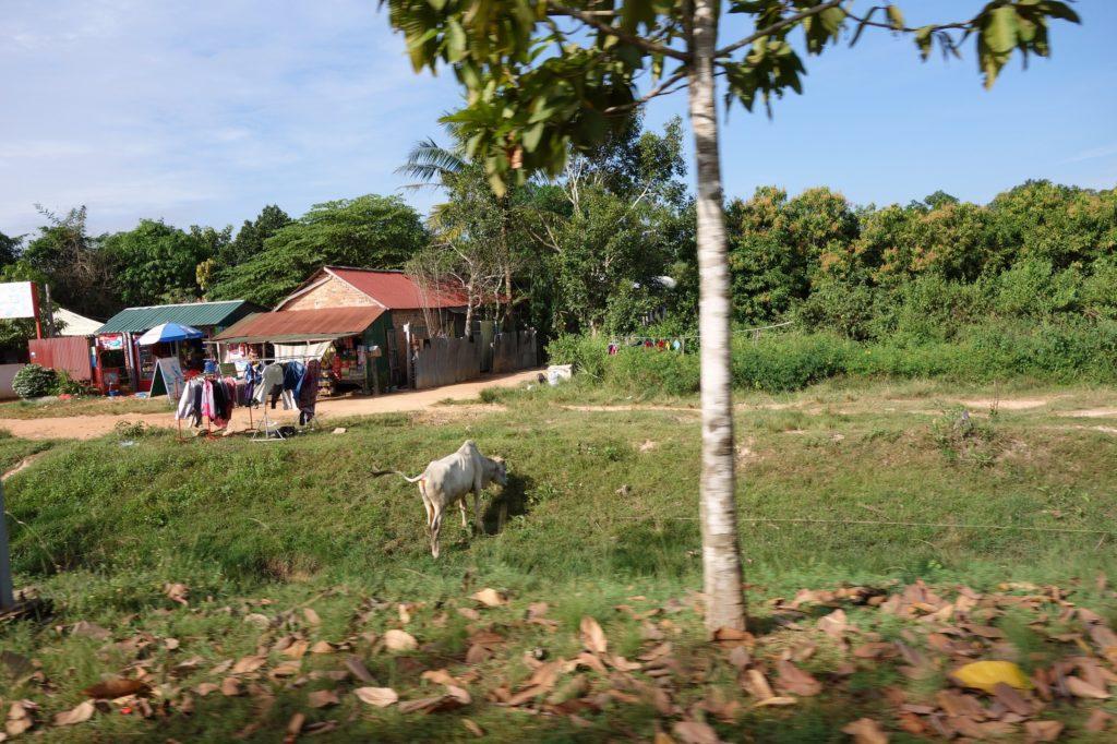 Wychudzone bydło - Kambodża