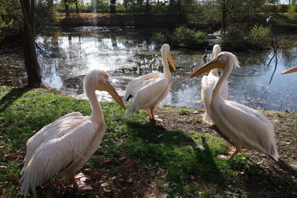 Pelikany różowe we wrocławskim ZOO - pomysł na weekend